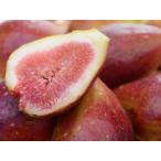 【1年間枯れ保証】【つる性果樹】イチジク/バナーネ 15cmポット  【あすつく対応】