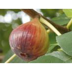 【1年間枯れ保証】【つる性果樹】イチジク/姫蓬莱 15cmポット  【あすつく対応】