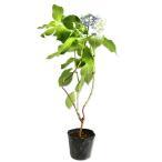 アジサイ 墨田の花火 10.5cmポット 1本 1年間枯れ保証 春に花が咲く木