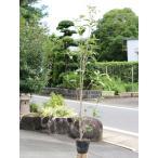 キンモクセイ 1.0m15cmポット 1本 1年間枯れ保証 生垣樹木