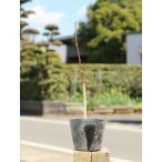 【1年間枯れ保証】【春に花が咲く木】コブシ 0.3m 【あすつく対応】