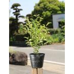 【1年間枯れ保証】【葉や形を楽しむ木】クロガネモチ 0.5m10.5cmポット 【あすつく対応】