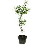 【1年間枯れ保証】【葉や形を楽しむ木】クロガネモチ 0.5m15cmポット 【あすつく対応】