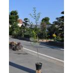 【1年間枯れ保証】【葉や形を楽しむ木】クロガネモチ 1.0m15cmポット 【あすつく対応】