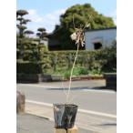 【1年間枯れ保証】【山林苗木】コナラ 0.3m10.5cmポット 【あすつく対応】