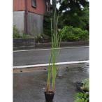 【1年間枯れ保証】【水生植物】ガマ 10.5cmポット 【あすつく対応】