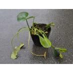 コウホネ 12cmポット 1本 1年間枯れ保証 水生植物