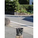 【1年間枯れ保証】【山林苗木】キササゲ 0.3m 【あすつく対応】