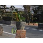【1年間枯れ保証】【つる性】クレマチス/アーマンディ常緑 10.5cmポット 【あすつく対応】