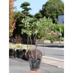 キンシバイ 15cmポット 1本 1年間枯れ保証 低木