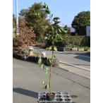 【1年間枯れ保証】【葉や形を楽しむ木】キミノバンジロウ 0.8m12cmポット 【あすつく対応】