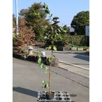 【1年間枯れ保証】【葉や形を楽しむ木】キミノバンジロウ 0.8m12cmポット 8本セット 送料無料 【あすつく対応】