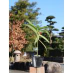 【1年間枯れ保証】【縁起木】カラタチバナ 0.2m10.5cmポット 【あすつく対応】