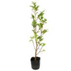【1年間枯れ保証】【生垣樹木】サザンカ/タチカン赤花 0.5m 【あすつく対応】