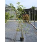 【1年間枯れ保証】【シンボルツリー常緑】シマトネリコ株立ち 1.2m18cmポット 【あすつく対応】