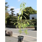 【1年間枯れ保証】【生垣樹木】シラカシ単木 0.5m10.5cmポット 【あすつく対応】