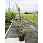 シルバープリペット 0.6m15cmポット 1本 1年間枯れ保証 生垣樹木
