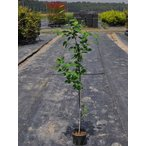 【1年間枯れ保証】【紅葉が美しい木】ジューンベリー 1.0m 【あすつく対応】