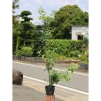 【1年間枯れ保証】【葉や形を楽しむ木】ソヨゴ 1.0m 【あすつく対応】