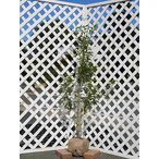 【1年間枯れ保証】【シンボルツリー常緑】ソヨゴ単木 1.5m露地 【あすつく対応】