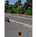 【1年間枯れ保証】【山林苗木】シナノガキ 0.5m10.5cmポット 【あすつく対応】