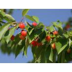 【1年間枯れ保証】【立木果樹】サクランボ/ナポレオン 15cmポット  【あすつく対応】