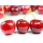 【1年間枯れ保証】【立木果樹】サクランボ/アメリカンチェリー 15cmポット  【あすつく対応】