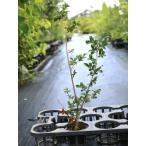 サルスベリ カントリーレッド 0.7m10.5cmポット 1本 1年間枯れ保証 シンボルツリー落葉