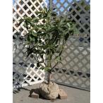 【1年間枯れ保証】【春に花が咲く木】セイヨウシャクナゲ 1.0m露地 2本セット 送料無料 【あすつく対応】