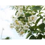 【1年間枯れ保証】【シンボルツリー落葉】サルスベリ白花 0.2m10.5cmポット 【あすつく対応】