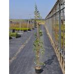 【1年間枯れ保証】【生垣樹木】トキワマンサク青葉白花 1.4m15cmポット 【あすつく対応】