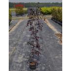 【1年間枯れ保証】【生垣樹木】トキワマンサク赤葉赤花 1.2m 10本セット 送料無料 【あすつく対応】
