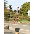 トキワマンサク赤葉ピンク花 0.6m15cmポット 1本【1年間枯れ保証】【生垣樹木】