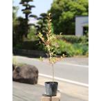 【1年間枯れ保証】【春に花が咲く木】ドウダンツツジ 0.2m 【あすつく対応】