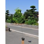【1年間枯れ保証】【山林苗木】タムシバ 1.0m 【あすつく対応】