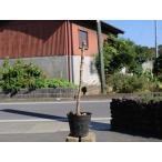 【1年間枯れ保証】【山野草】タラノキ 10.5cmポット 【あすつく対応】