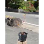 【1年間枯れ保証】【紅葉が美しい木】ナツハゼ 0.2m 【あすつく対応】