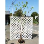 【1年間枯れ保証】【紅葉が美しい木】ナツハゼ 2.0m露地 2本セット 【あすつく非対応/大型商品/送料5600円】