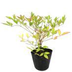 【1年間枯れ保証】【縁起木】ナンテン 0.2m 【あすつく対応】