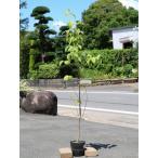 【1年間枯れ保証】【街路樹&公園樹】ハナミズキ 1.2m実生 【あすつく対応】