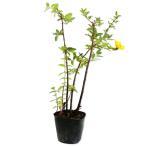 【1年間枯れ保証】【低木】ヒペリカム/ヒデコート 0.1m 【あすつく対応】