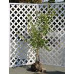 ブルーベリー ホームベル 1.5m露地 2本セット 送料無料 1年間枯れ保証 葉や形を楽しむ木