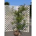 ブルーベリー ホームベル 2.0m露地 2本セット 1年間枯れ保証 葉や形を楽しむ木 大型商品 個別送料5600円