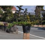 【1年間枯れ保証】【低木】プロカンベンス 15cmポット 10本セット 送料無料 【あすつく対応】