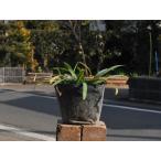 【1年間枯れ保証】【球根】シロバナヒガンバナ 10.5cmポット 【あすつく対応】