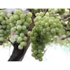 【1年間枯れ保証】【つる性果樹】ブドウ/ナイアガラ 15cmポット  【あすつく対応】