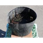 ハス 粉千叶(淡桃 大型八重) 24cmポット 1本 1年間枯れ保証 水生植物