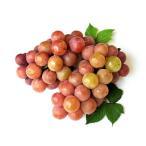 【1年間枯れ保証】【つる性果樹】ブドウ/安芸クイーン 15cmポット  【あすつく対応】