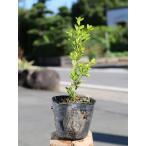 【1年間枯れ保証】【低木】ホンツゲ 0.3m15cmポット 【あすつく対応】
