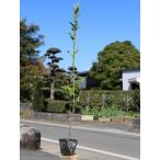 【1年間枯れ保証】【生垣樹木】マサキ 0.7m10.5cmポット 【あすつく対応】